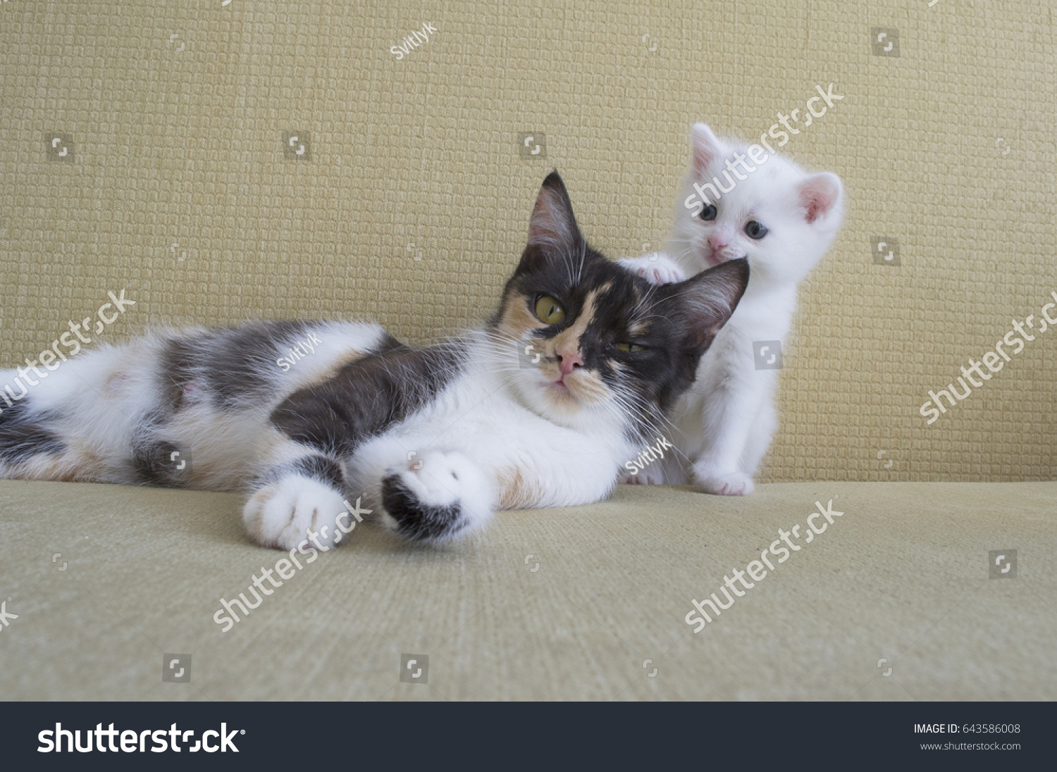 Young Three Colored Cat Lying On The Couch Baby Kitten Playing With Mother