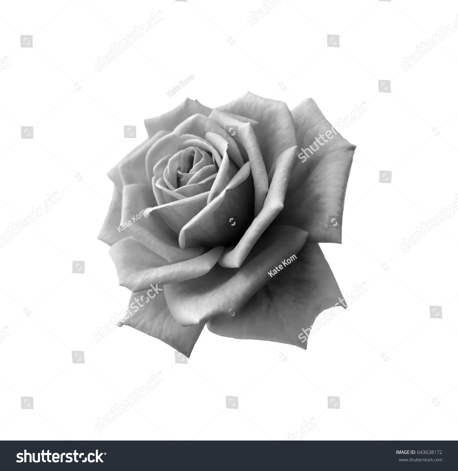 Beautiful black white rose flower isolated stock photo edit now beautiful black and white rose flower isolated on white background izmirmasajfo