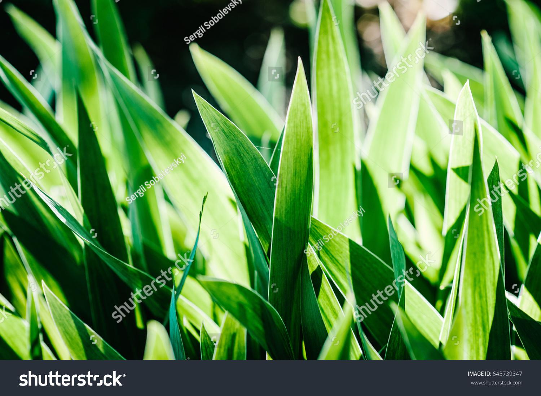 Green iris wild leaves flower field in bloom amaryllis meadow id 643739347 izmirmasajfo