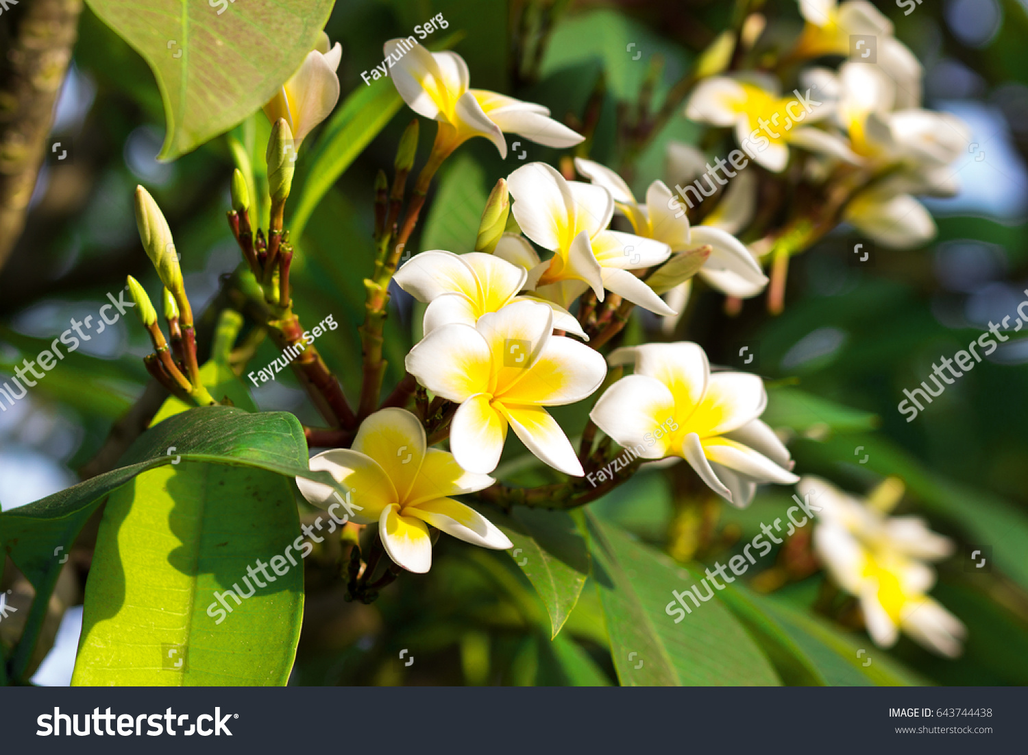 Blossoming Mango Tree Mango Flower Consists Stock Photo Edit Now