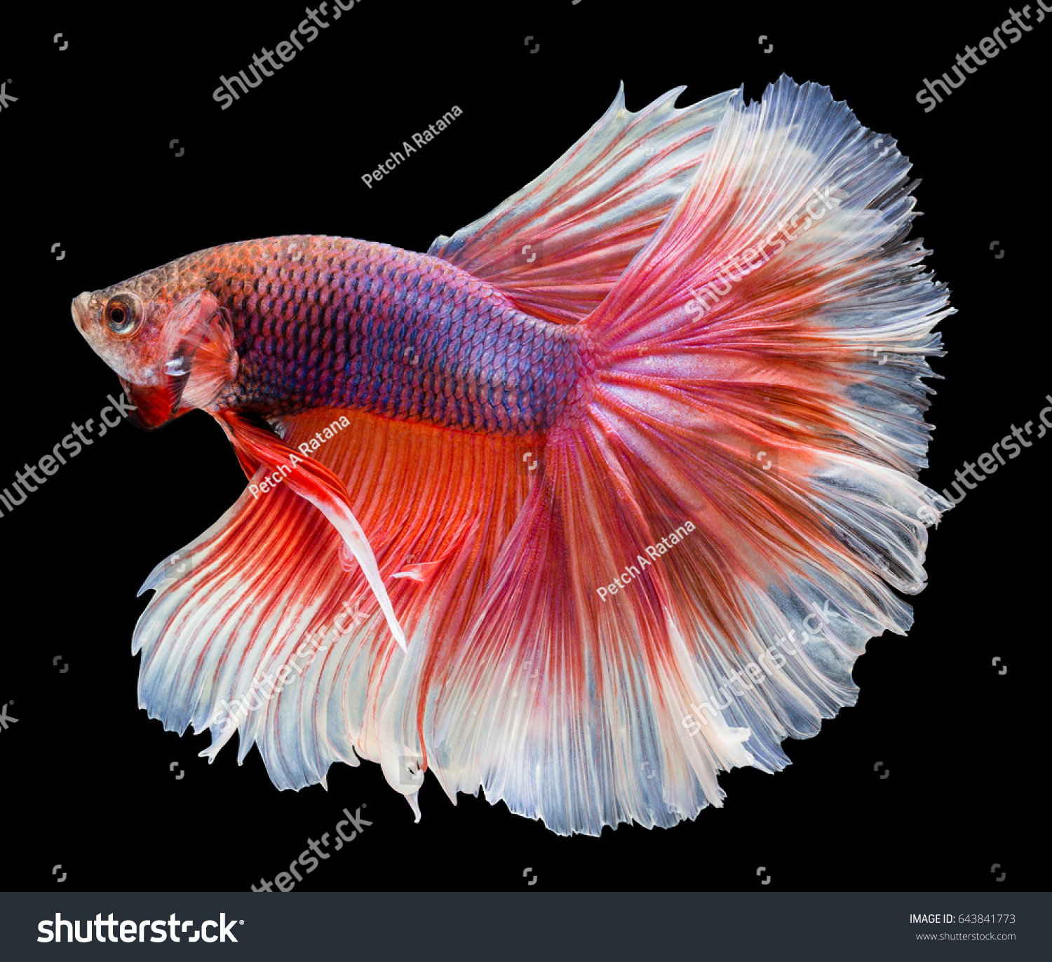 Beautiful Fighting Fish Very Colorful Isolated Stock Photo (Royalty ...