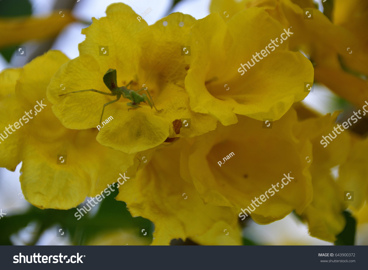 Beautiful Yellow Elder Flowers Mantis Stock Photo Edit Now