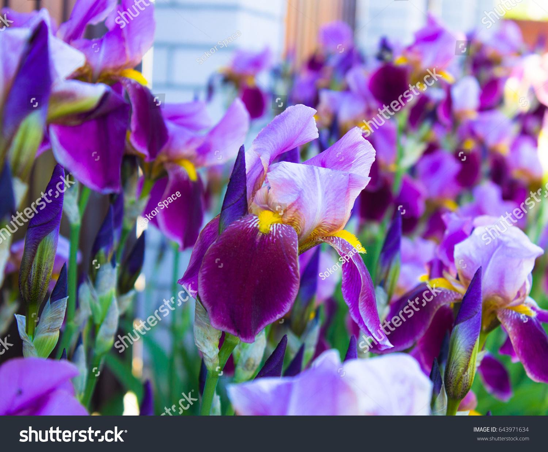 Flower Bearded Iris Germanica Stock Photo Edit Now 643971634