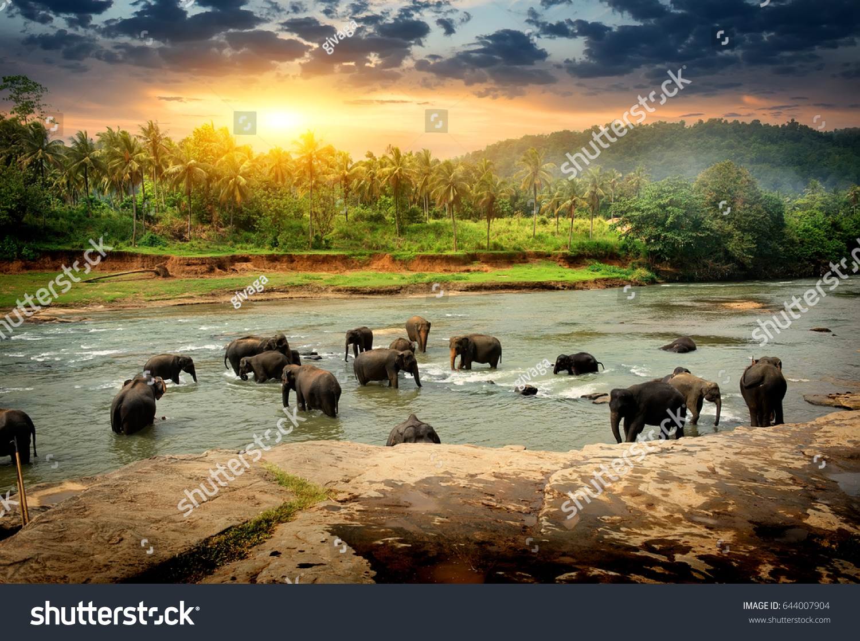 Herd of elephants bathing in the jungle river of Sri Lanka #644007904