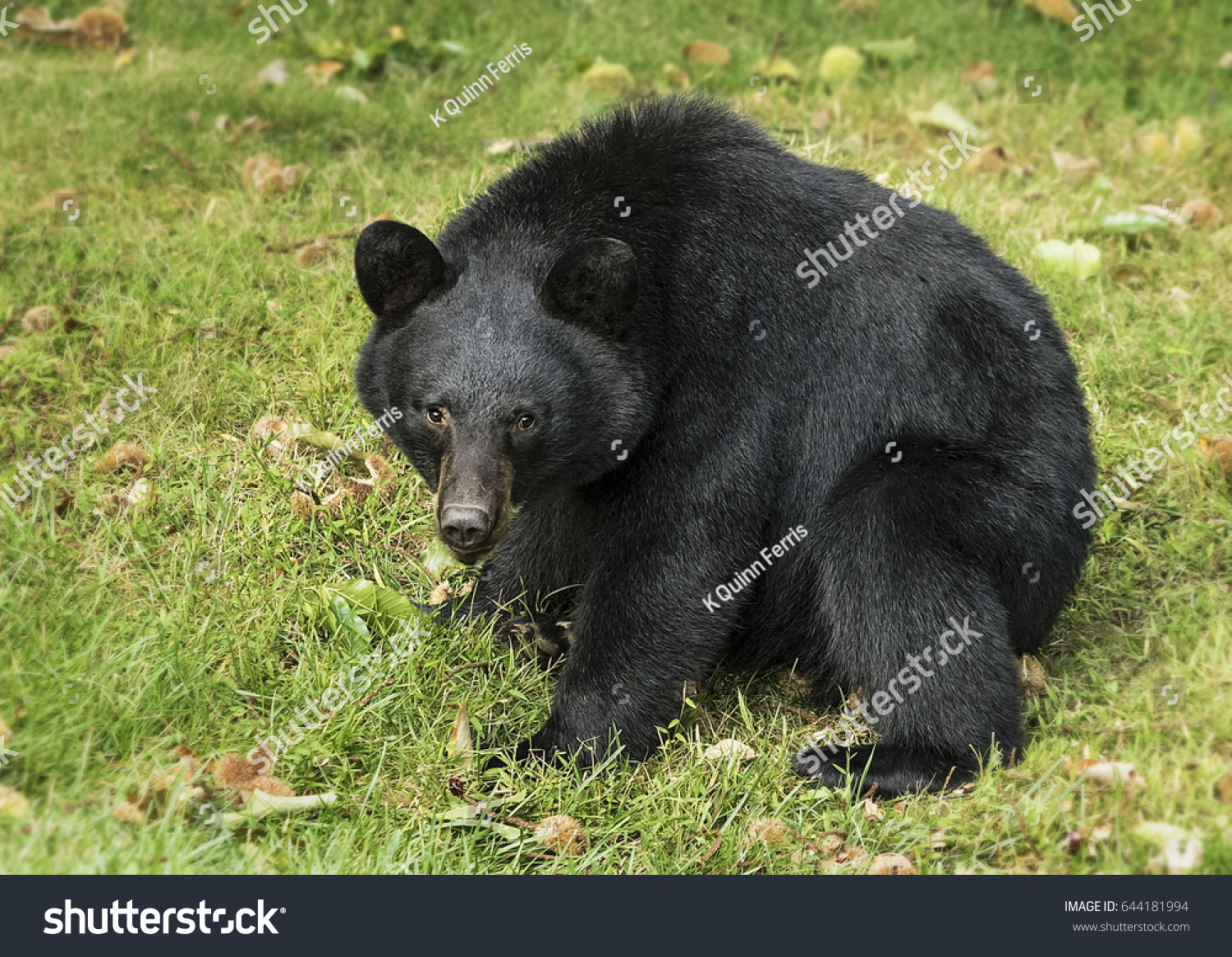 American Black Bear Sitting Hunched Over Stock Photo Edit Now