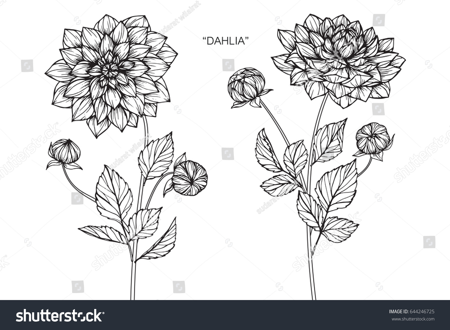 Dahlia Flower Line Drawing : Dahlia flowers drawing sketch lineart on stock vector