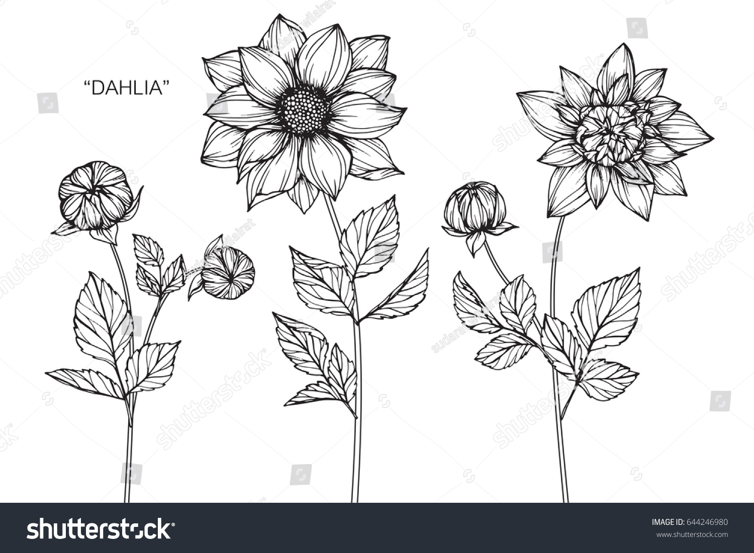 Dahlia Flowers Drawing And Sketch With Line Art On White Backgrounds