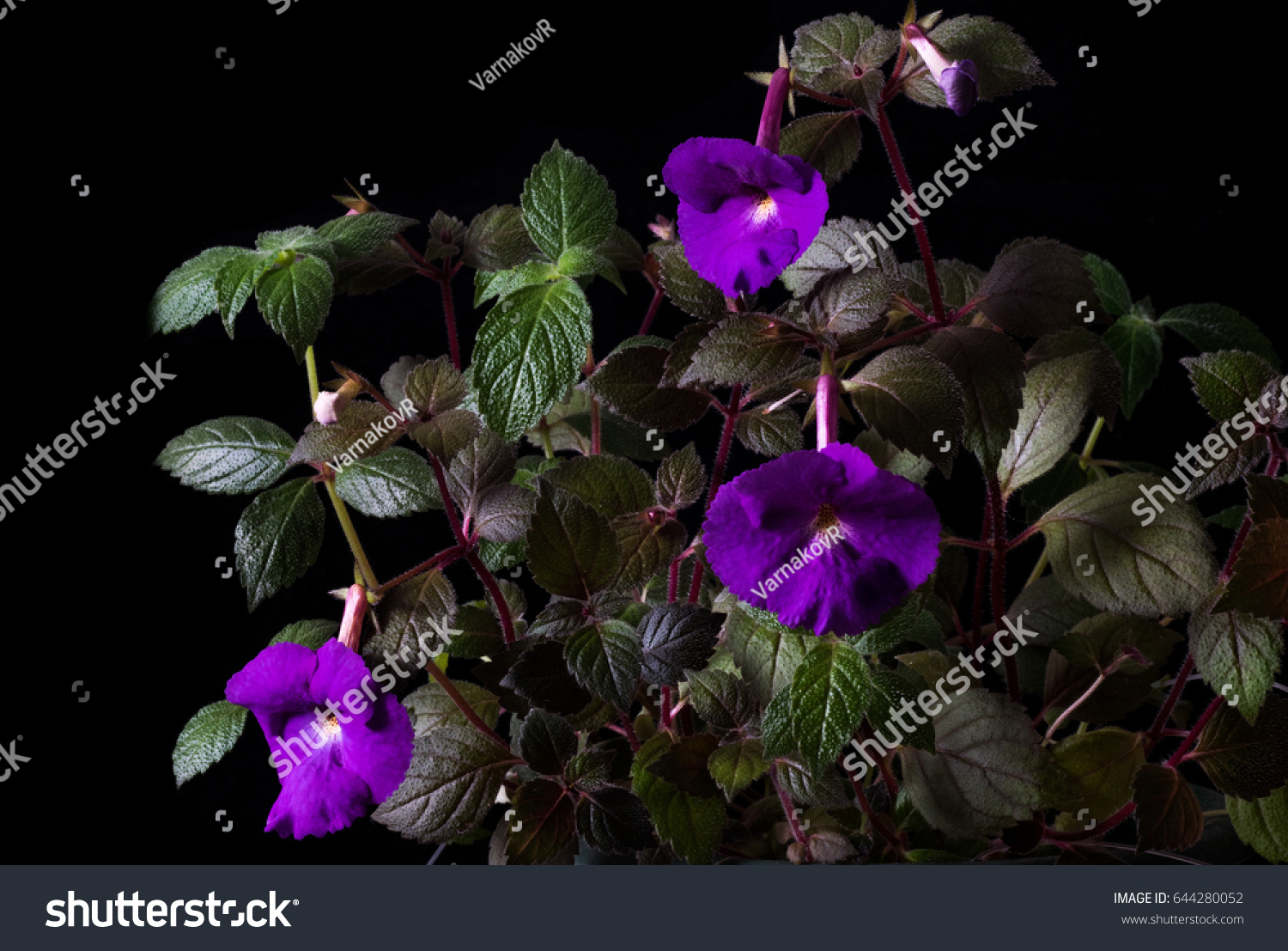 Purple Flower Achimenes Closeup On Black Stock Photo Edit Now
