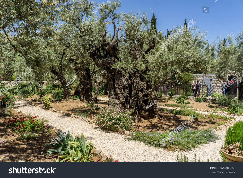 Garden Gethsemane On Mount Olives Jerusalem Stock Photo (Edit Now ...