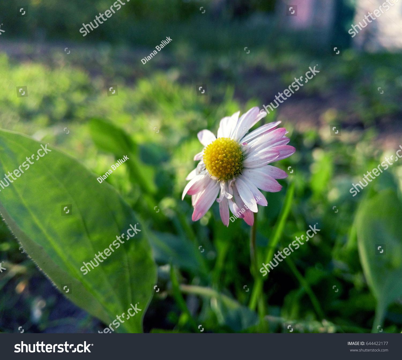 Beautiful daisy flower hidden green grass stock photo 644422177 beautiful daisy flower hidden in green grass izmirmasajfo Choice Image