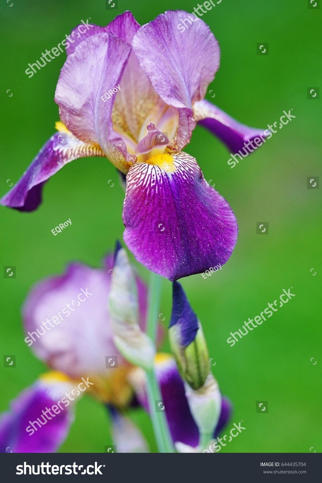 Purple Yellow Bearded Iris Flower Bloom Stock Photo Edit Now