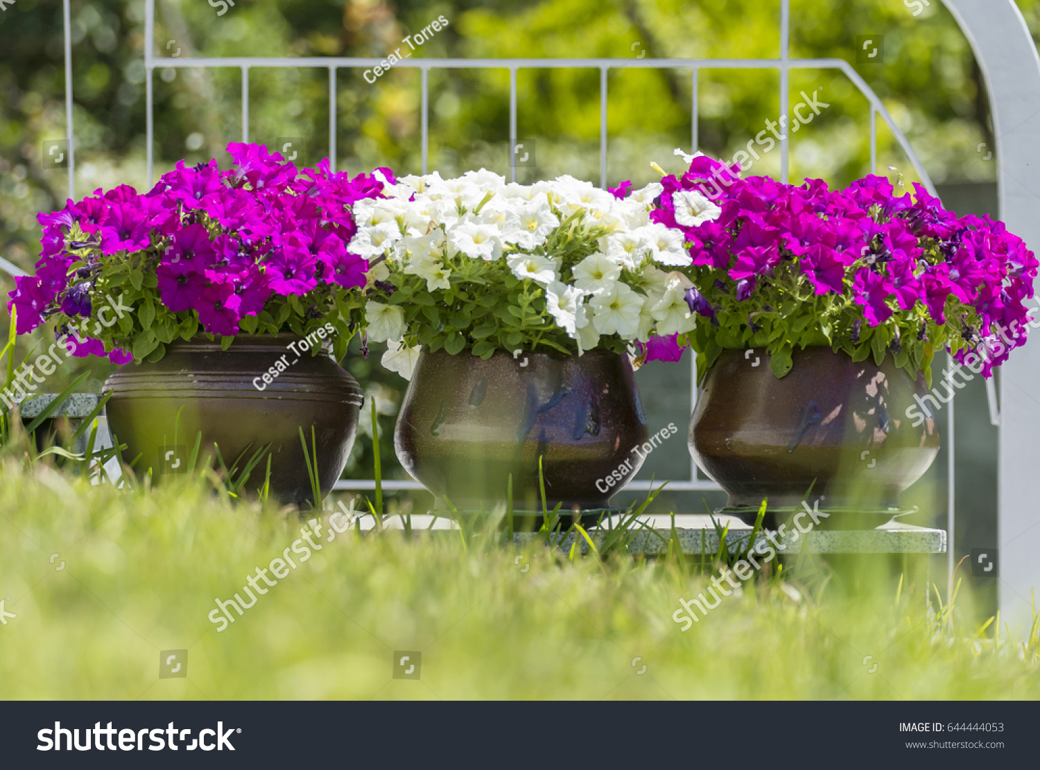 Violet White Flowers Planted Pots Stock Photo Royalty Free
