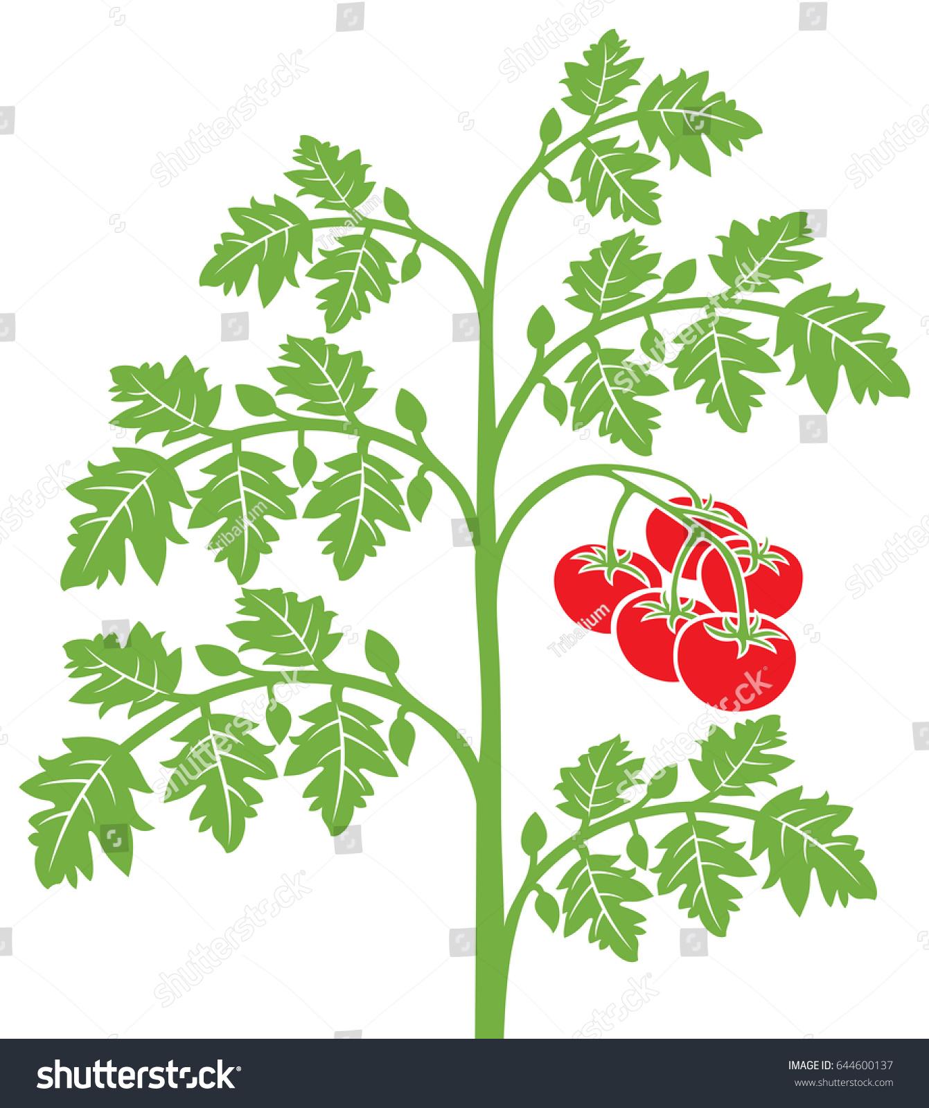 Tomato Plant Vector Illustration Stock Vector (Royalty Free ...