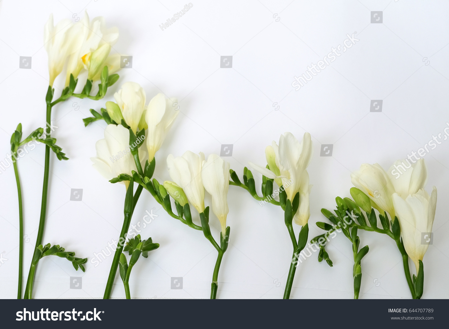 White Freesia Flower Green Buds Stock Photo Download Now 644707789