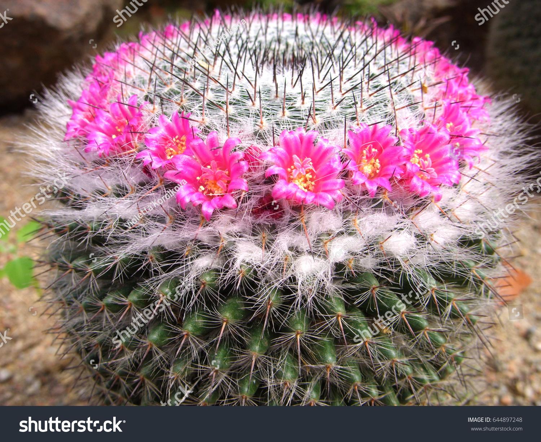 Pincushion Cactus With Colorful Small Flower Mammillaria Ez Canvas