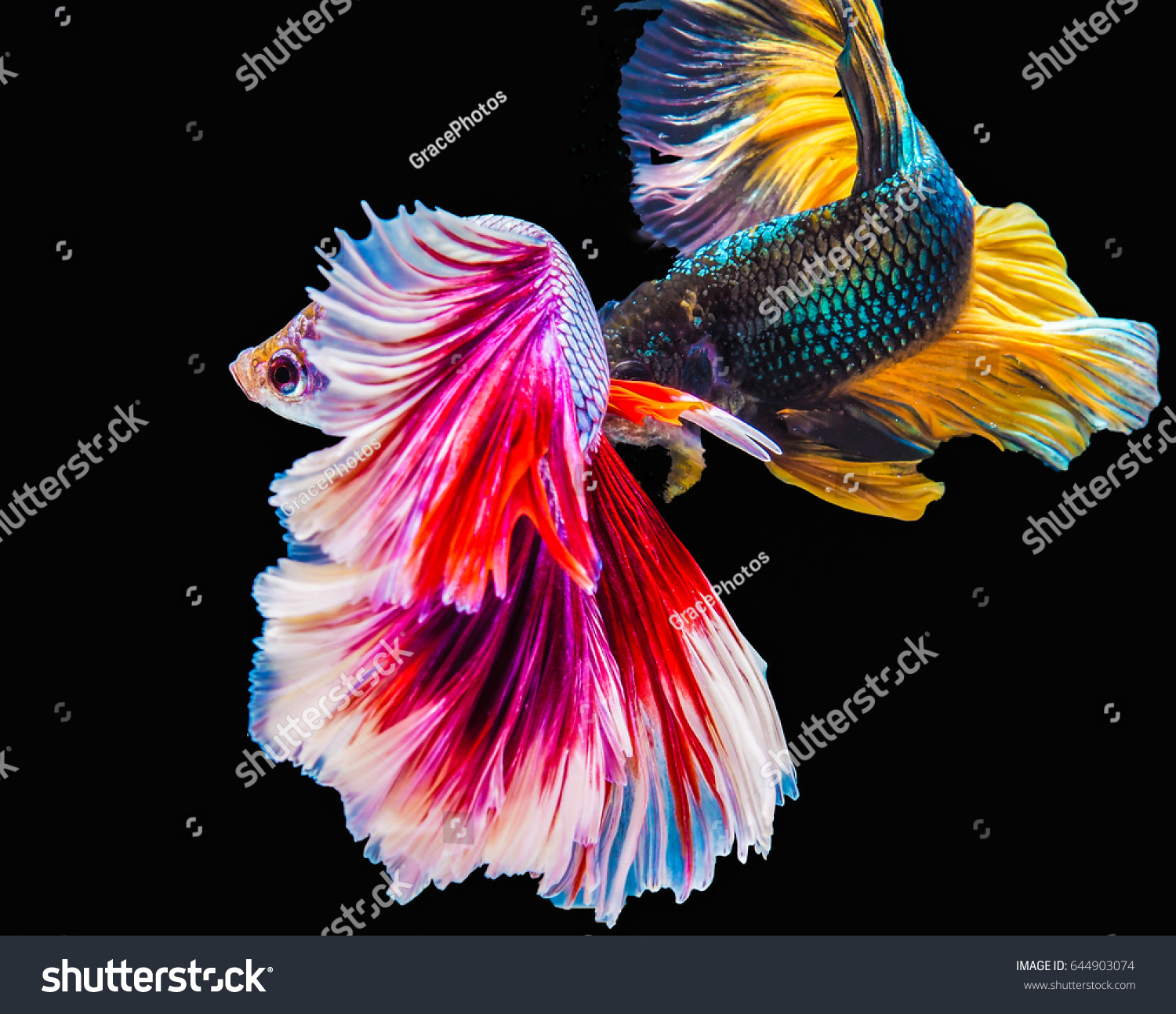 Two Siamese Fighting Fish Black Color Stock Photo (Royalty Free ...