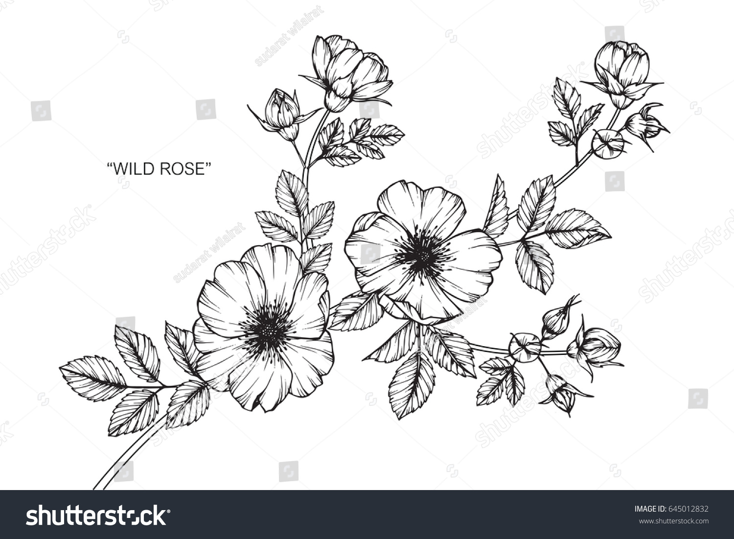 Wild rose flowers drawing and sketch with line-art on white backgrounds. #645012832