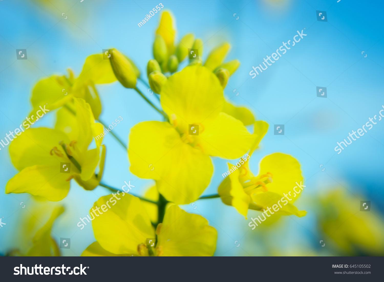 Field Yellow Rape Flowers Field Flowers Stock Photo Edit Now