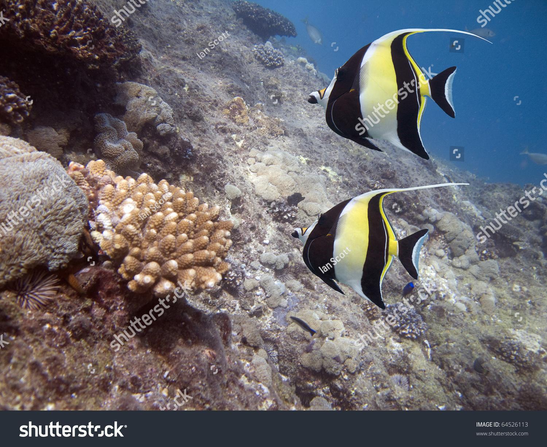 Moorish idols zanclus cornutus the type of fish known as for What kind of fish is nemo