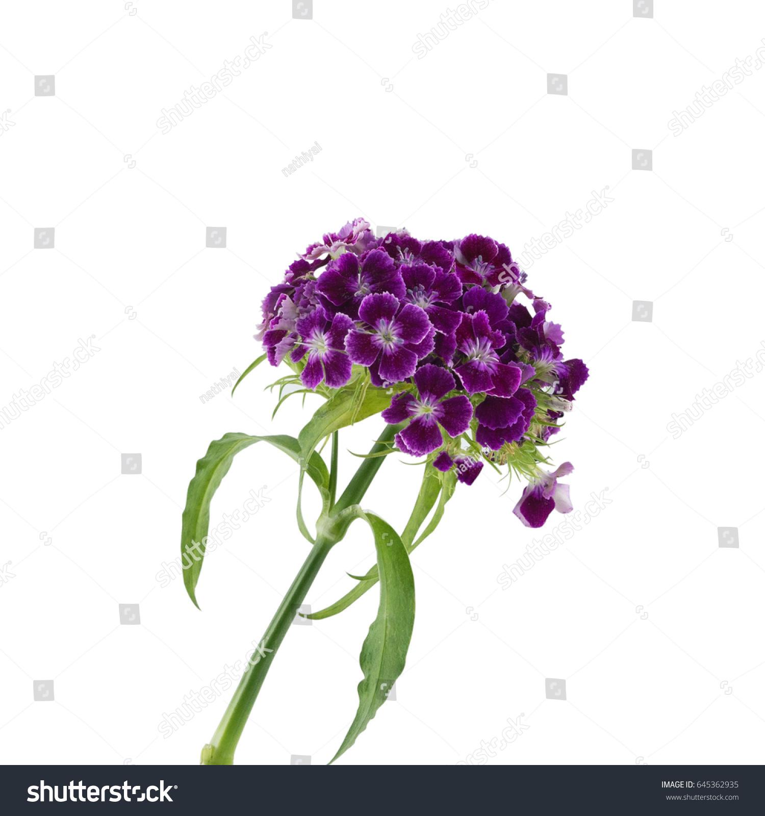 Purple Sweet William Flowers Isolated On Stock Photo Edit Now