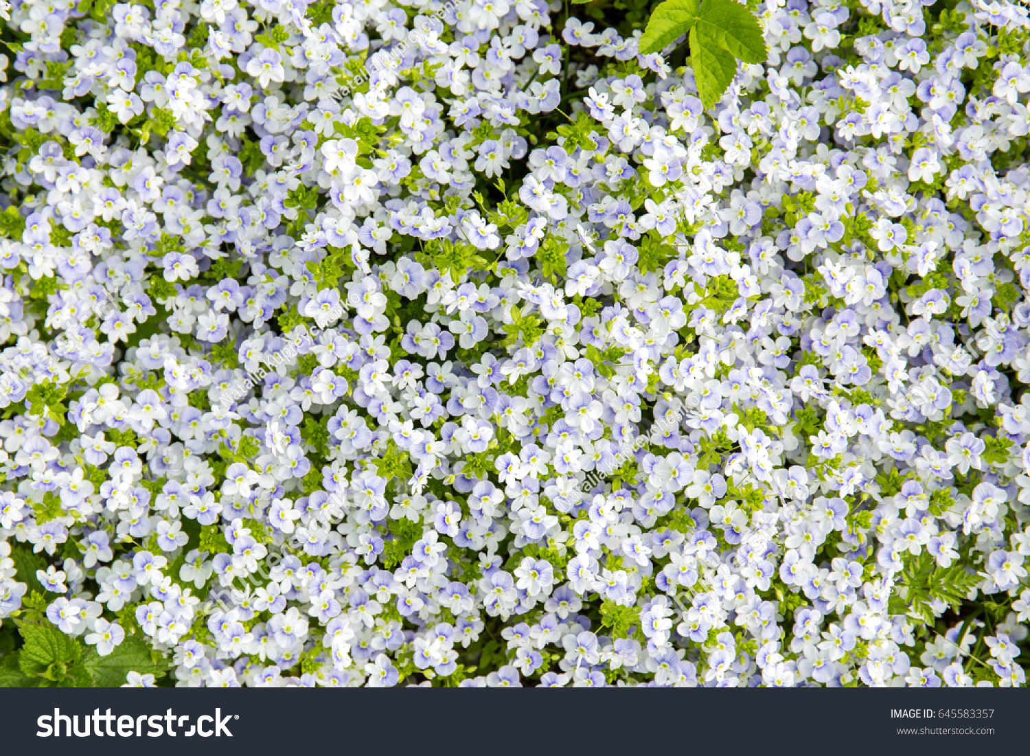 Small White Flowers Background Closeup Ez Canvas