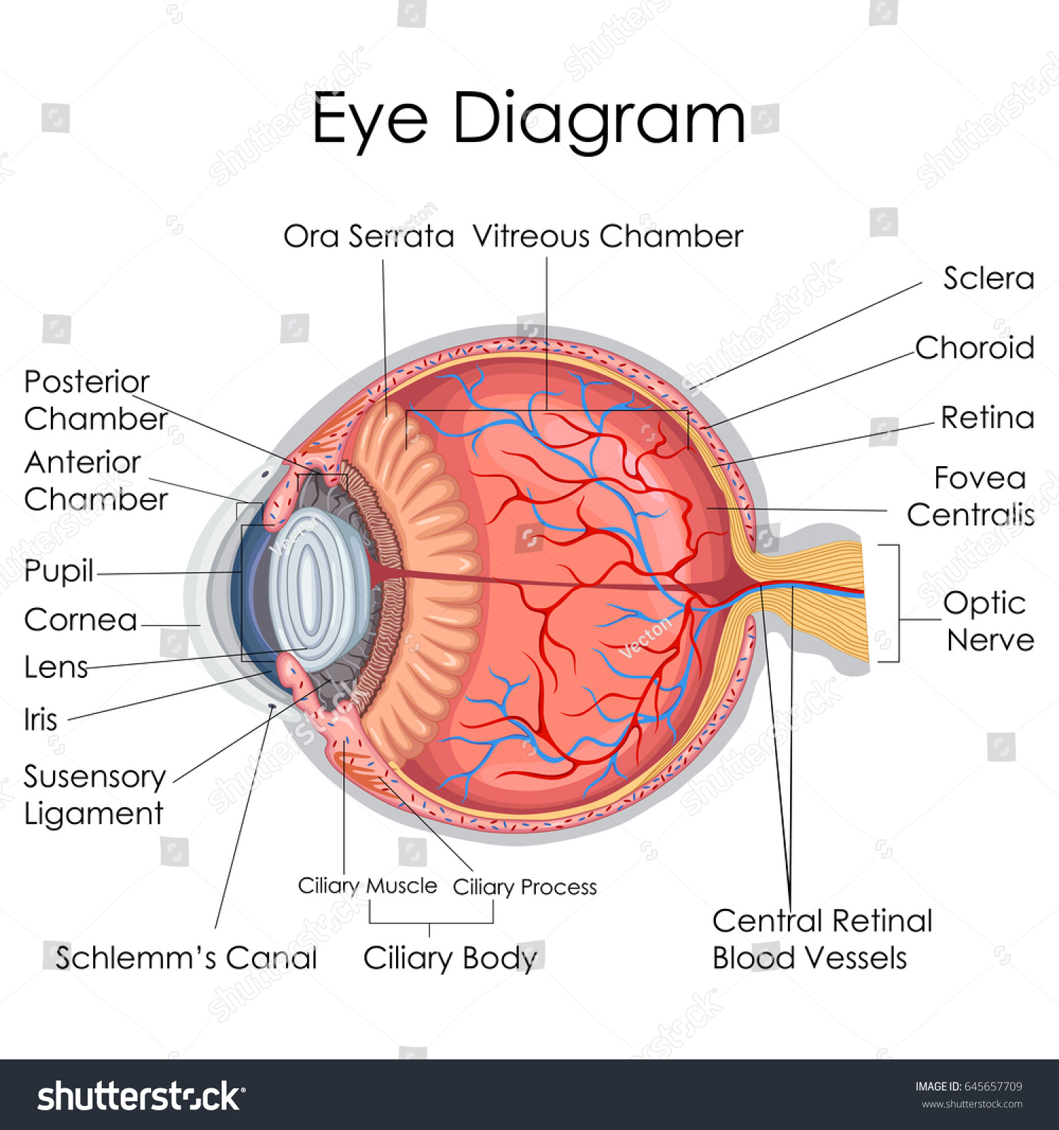 Medical education chart biology human eye stock vector 645657709 medical education chart of biology for human eye internal diagram vector illustration pooptronica Image collections