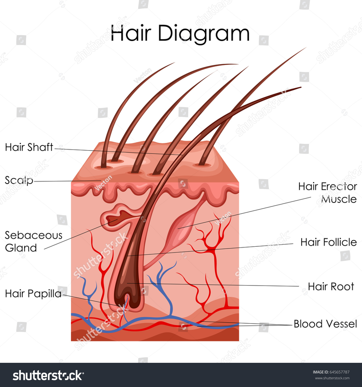 Modern Hair Shaft Anatomy Composition - Human Anatomy Images ...