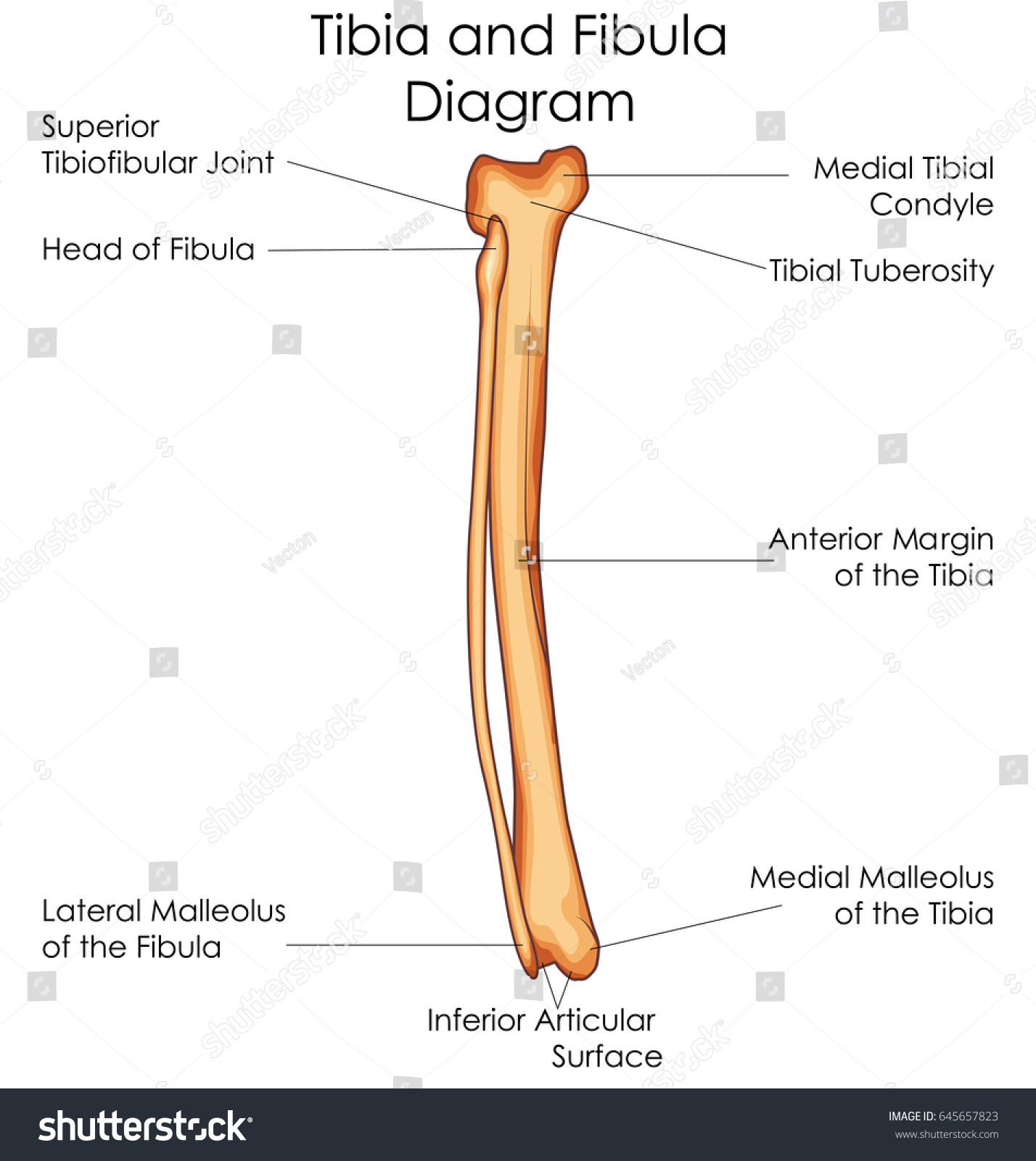 medical education chart biology tibia fibula stock vector