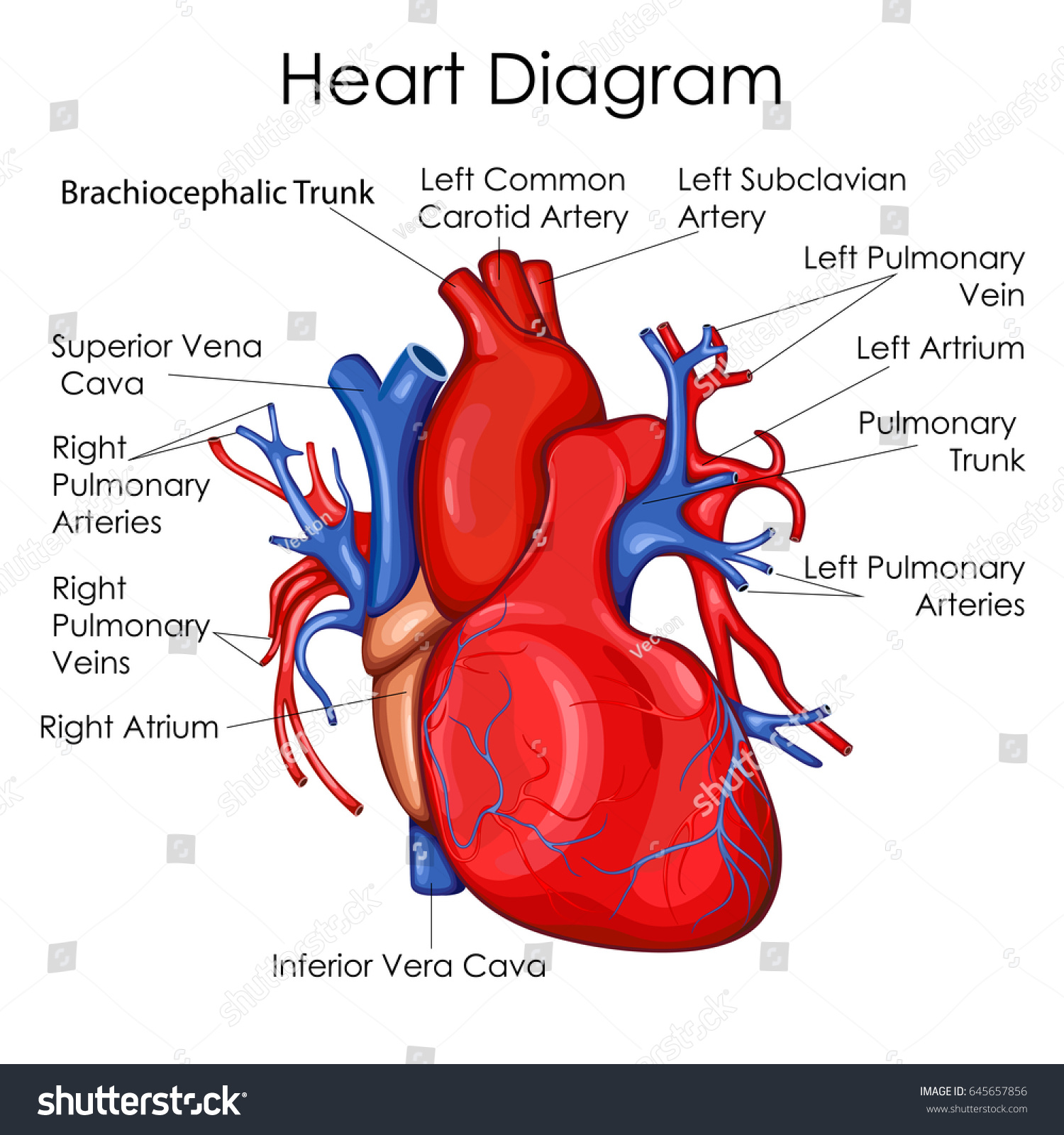 Medical education chart biology heart diagram stock vector medical education chart of biology for heart diagram vector illustration pooptronica
