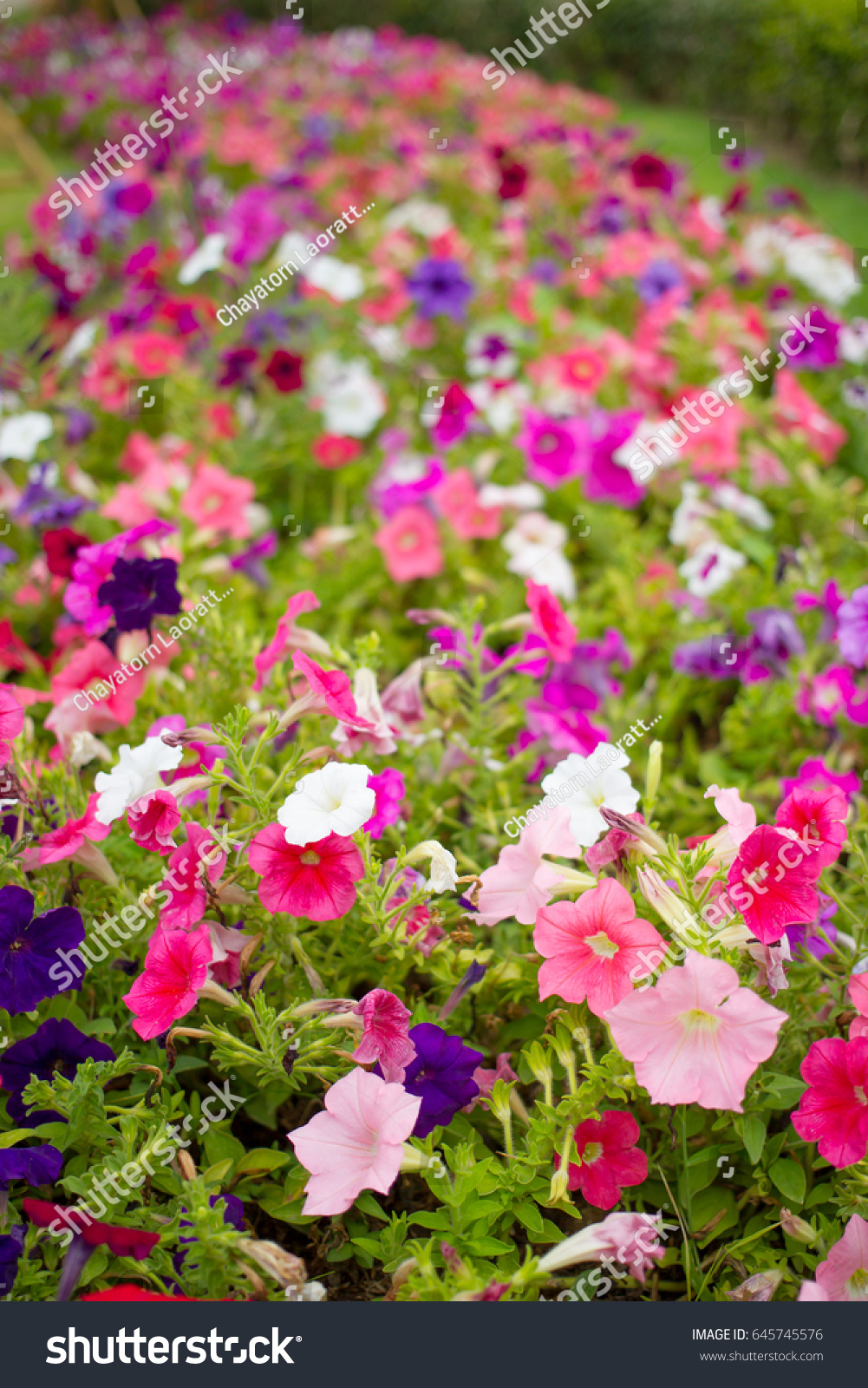 Beautiful multicolor of petunia flowers in garden close up ez canvas id 645745576 izmirmasajfo