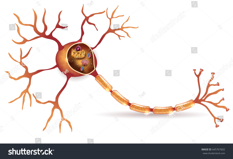 Neuron Nerve Cell Detailed Anatomy Cross Stock Vector (2018 ...
