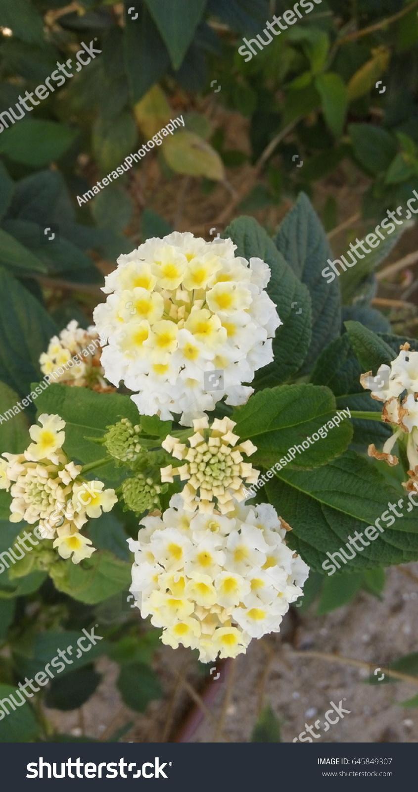 White Lantana Camara Flowers Small Perennial Stock Photo Royalty
