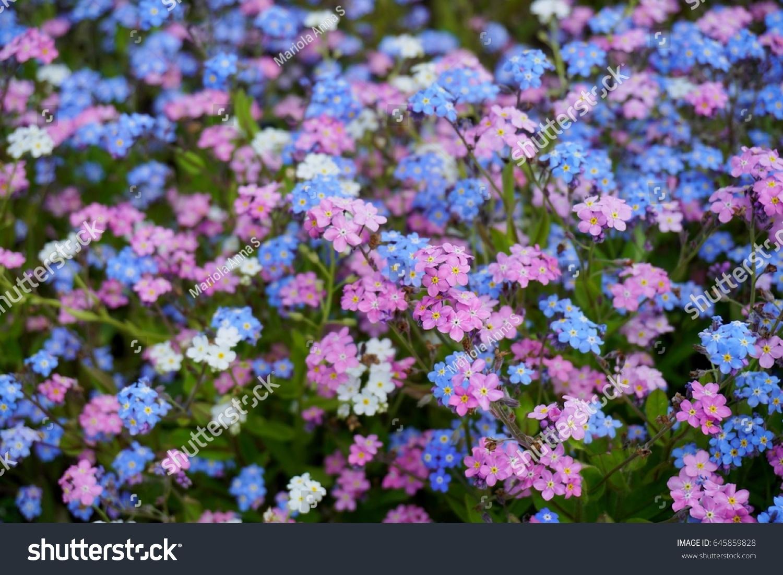 Blue Pink Forgetmenot Flowers Myosotis Sylvatica Stock Photo Edit