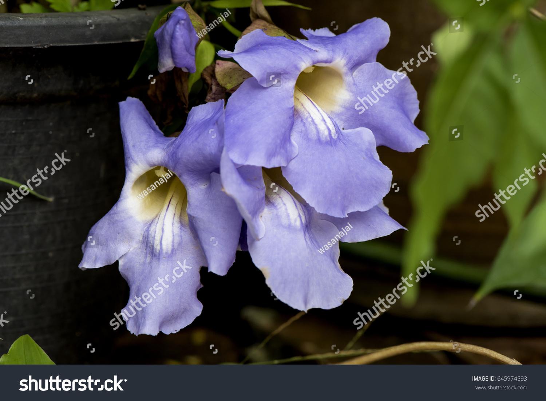 Laurel Clock Vine Blue Trumpet Vine Stock Photo Edit Now 645974593
