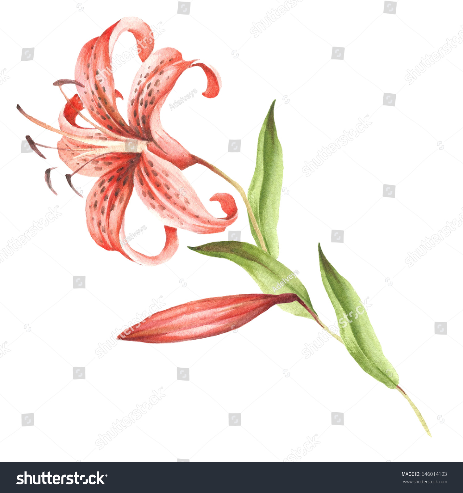 Image Tiger Lily Flowers Hand Draw Stock Illustration 646014103