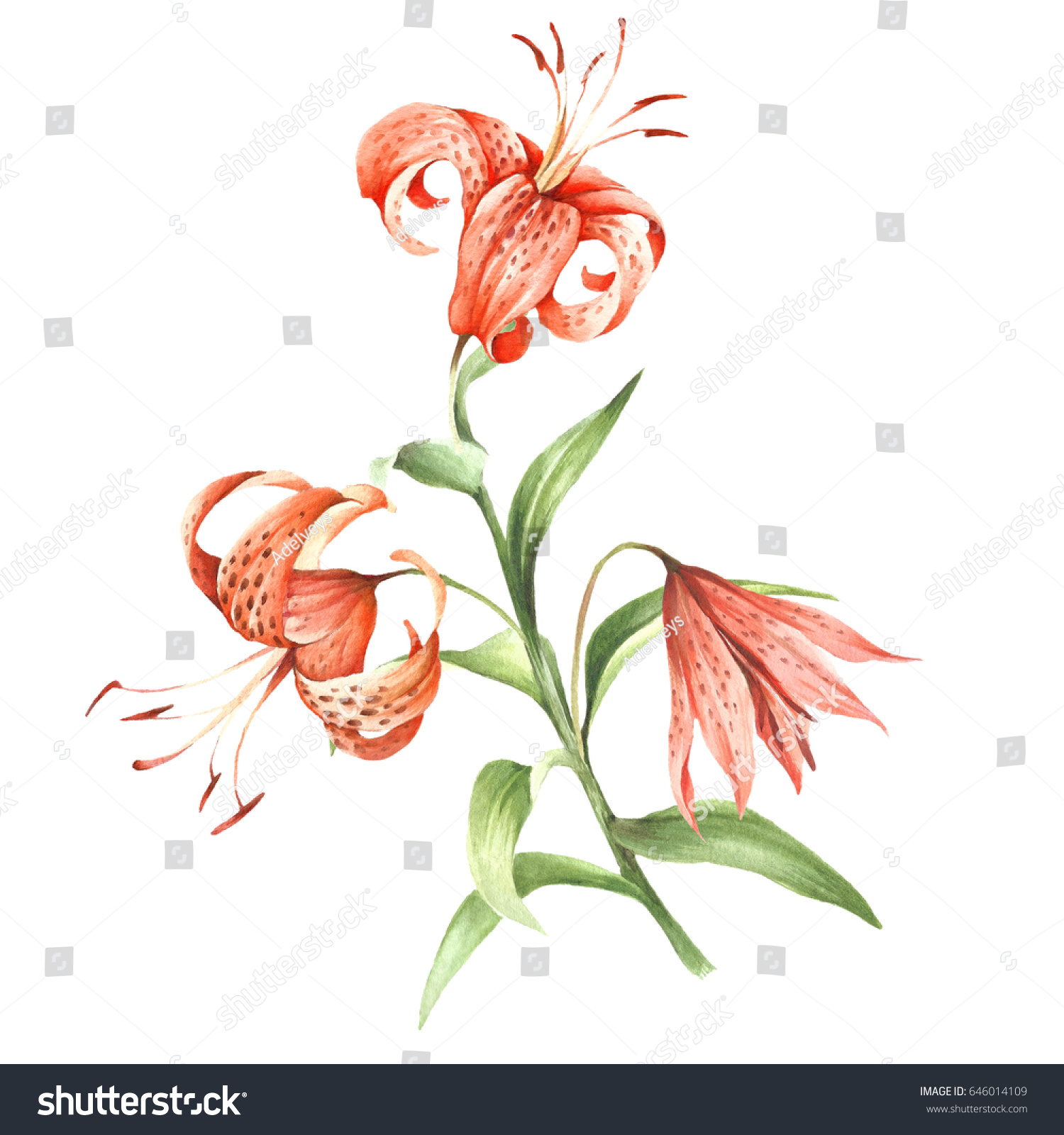 Image Tiger Lily Flowers Hand Draw Stock Illustration 646014109