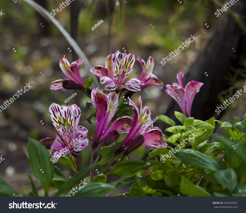 Dazzling Princess Lilies Alstroemeria Peruvian Lilies Stock Photo
