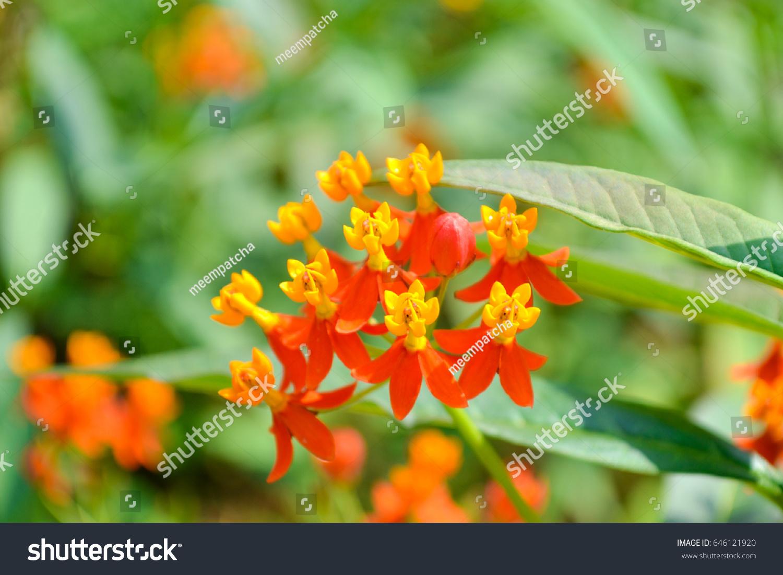 Orange Flowers 5 Petals Yellow Pollen Stock Photo Edit Now