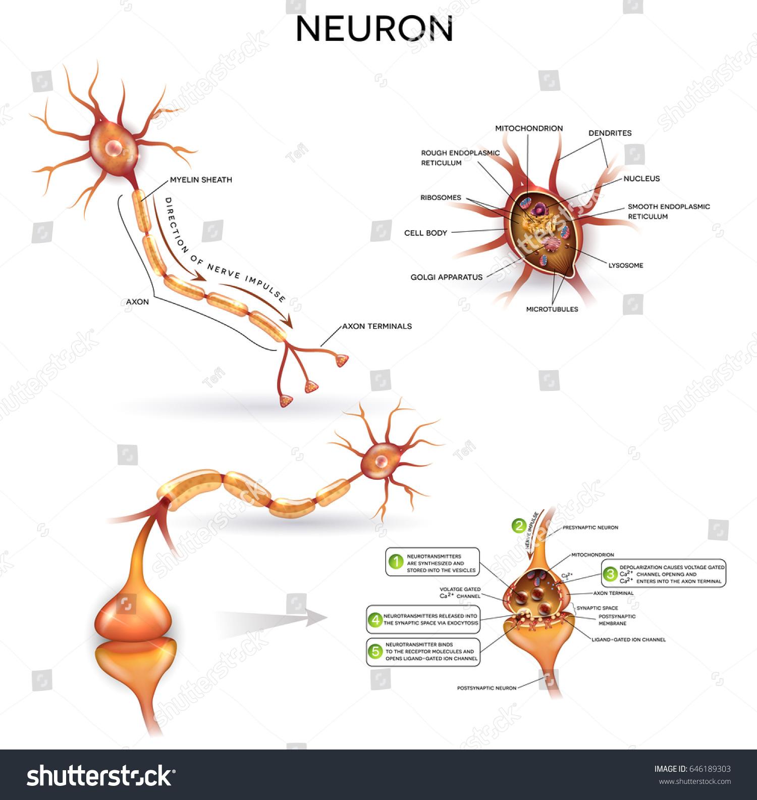 Neuron Nerve Cell Close Illustrations Set Stock Vektorgrafik