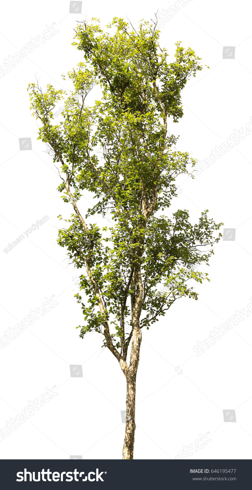 Tree Color Green Isolate On White Stock Photo 646195477 - Shutterstock