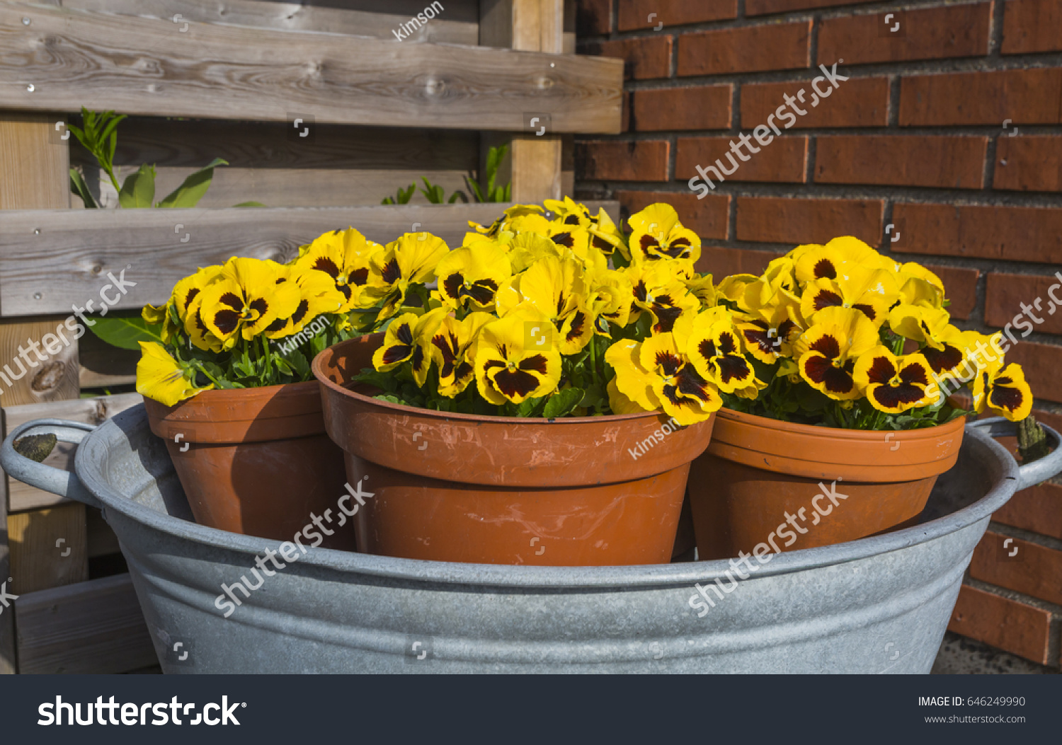 Bowl Four Pots Flowering Pansies Home Stock Photo (Royalty Free ...
