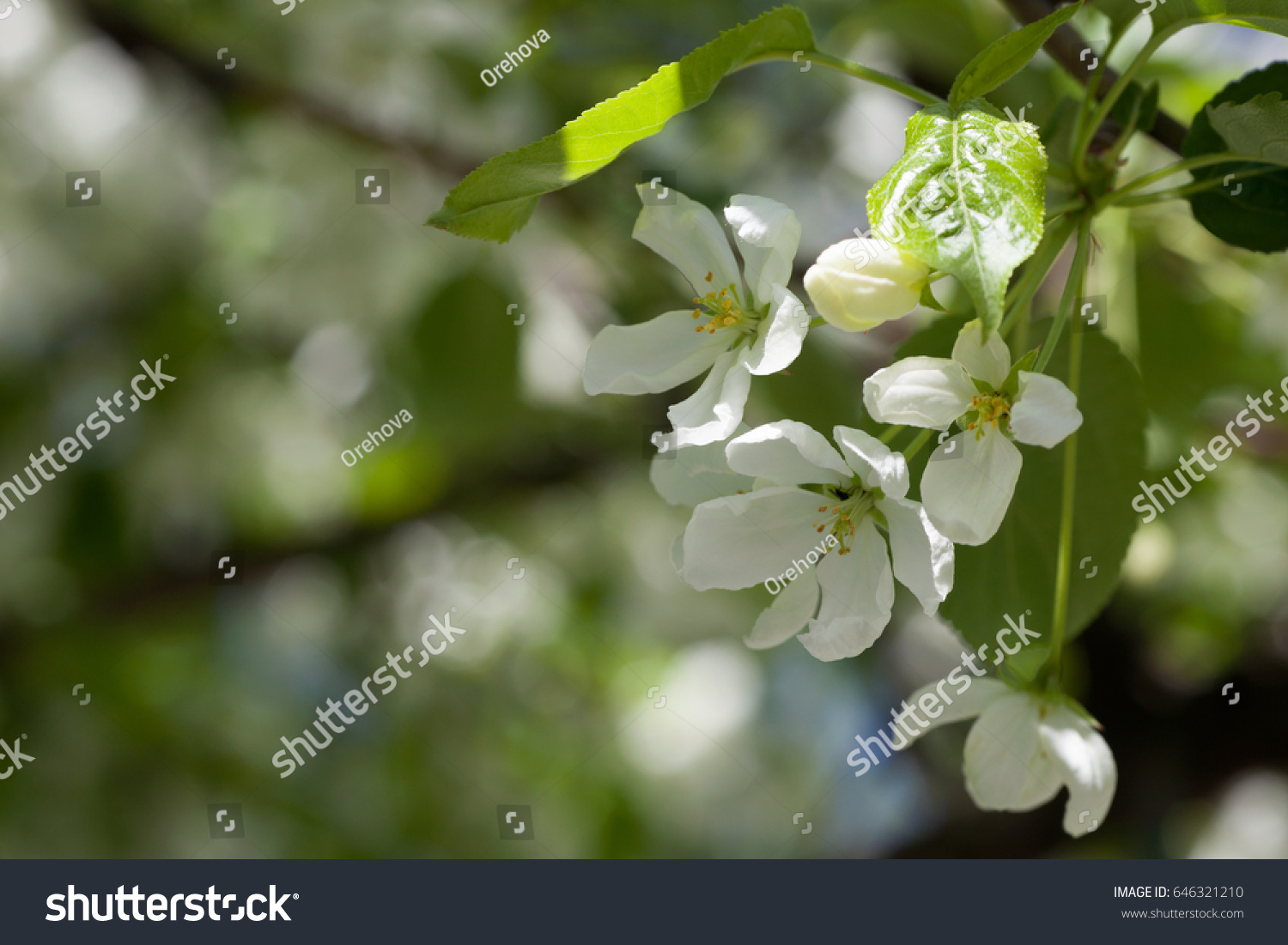The Branches Of The Cherry Blossoms With Delicate White Flowers Ez