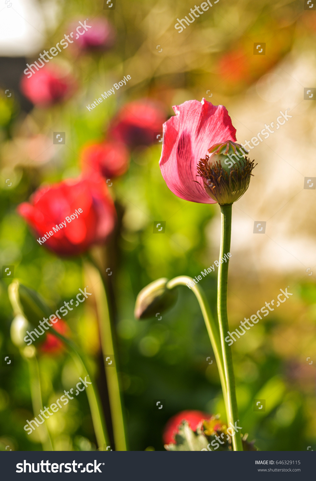 Close Shot Poppy Flowers Bloom This Stock Photo Edit Now 646329115
