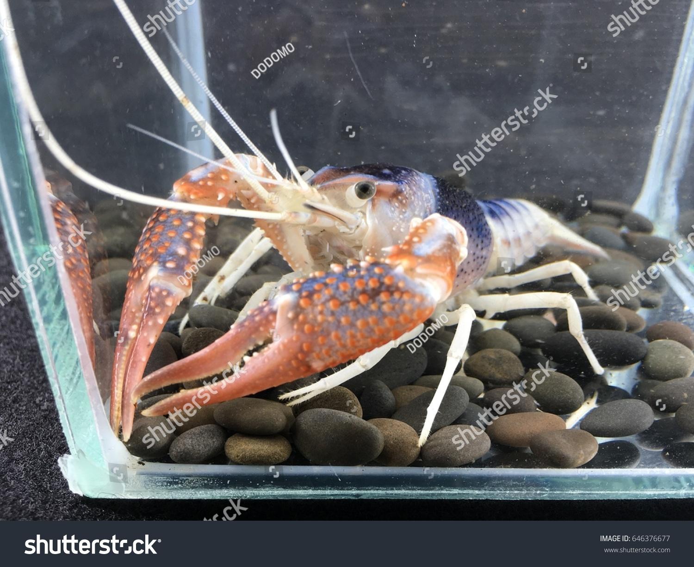 Shrimp Crayfish Cabinet Procambarus Clarkii Ghost Stock Photo ...