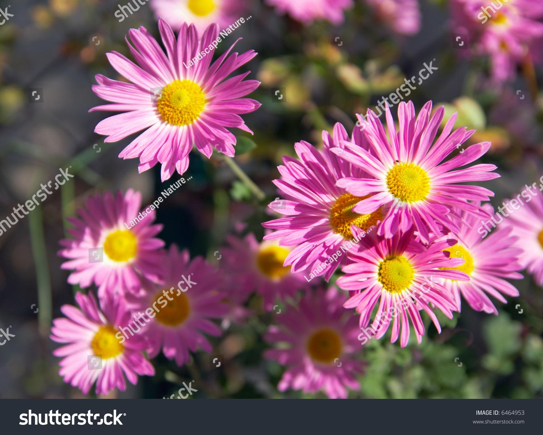 Pink Sun Flower Background Ez Canvas