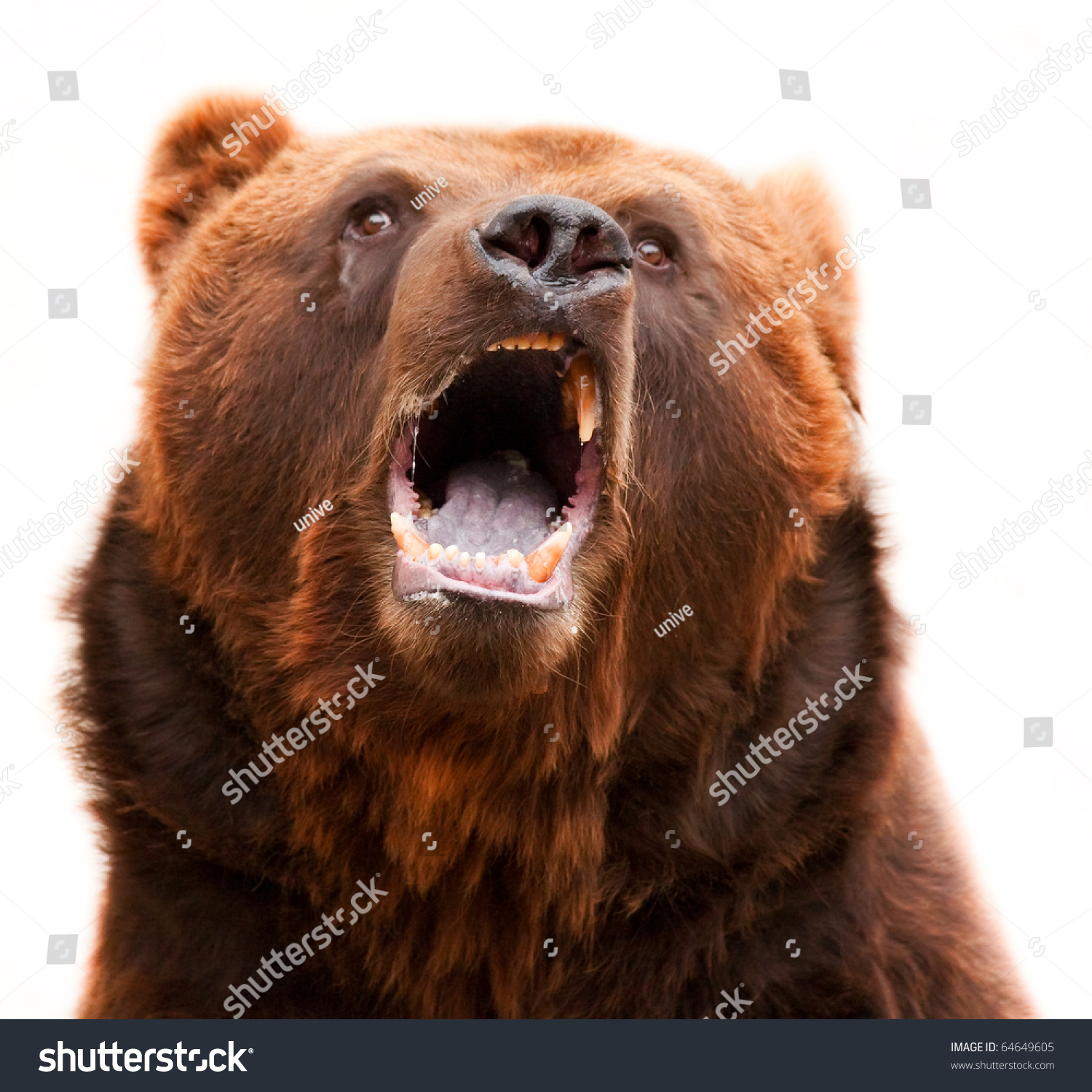 Brown Grizzly Bear Widely Open Mouth Stock Photo 64649605 ...