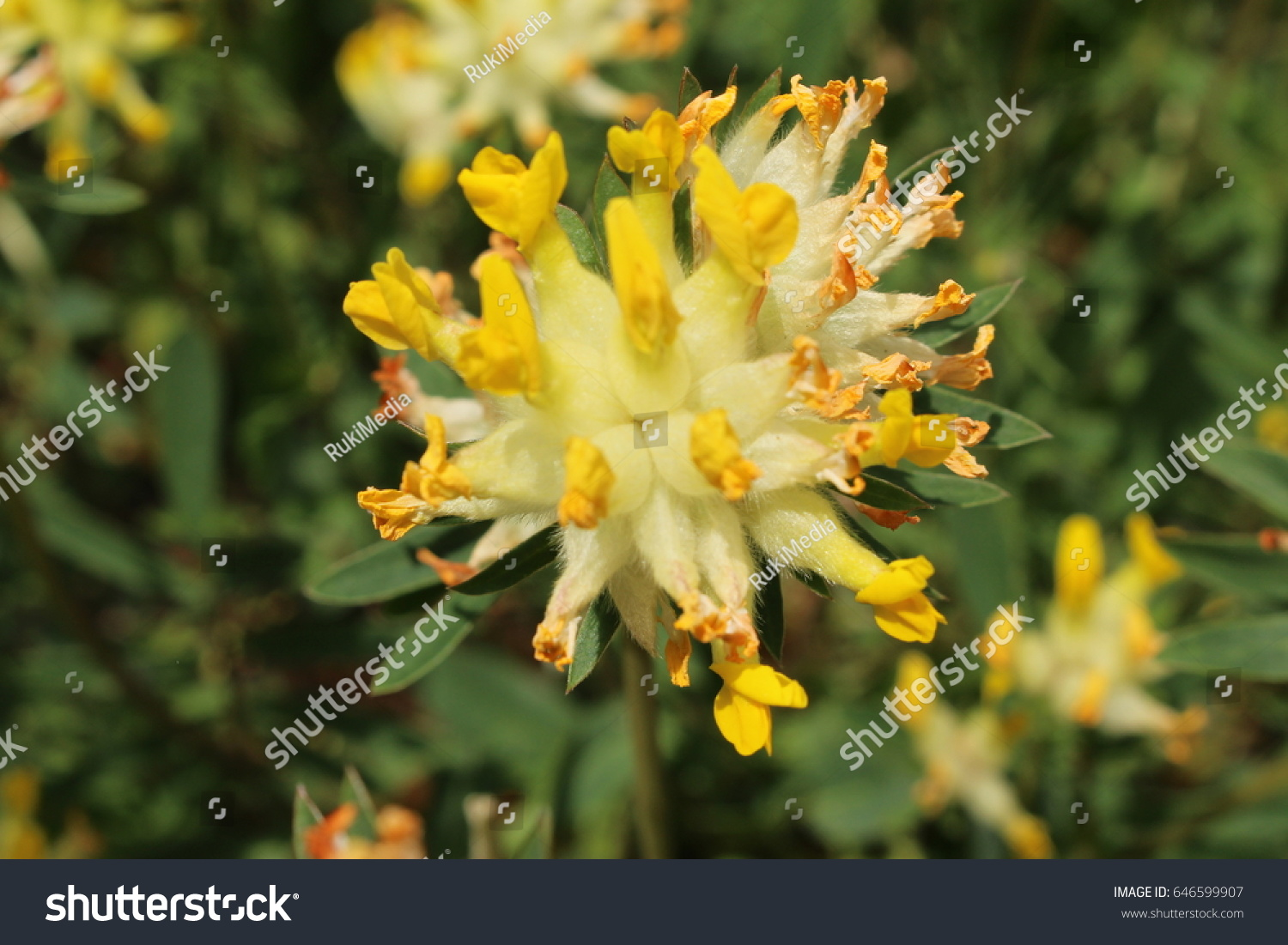 Yellow common kidney vetch flower or stock photo edit now yellow common kidney vetch flower or woundwort ladies fingers gemeiner mightylinksfo