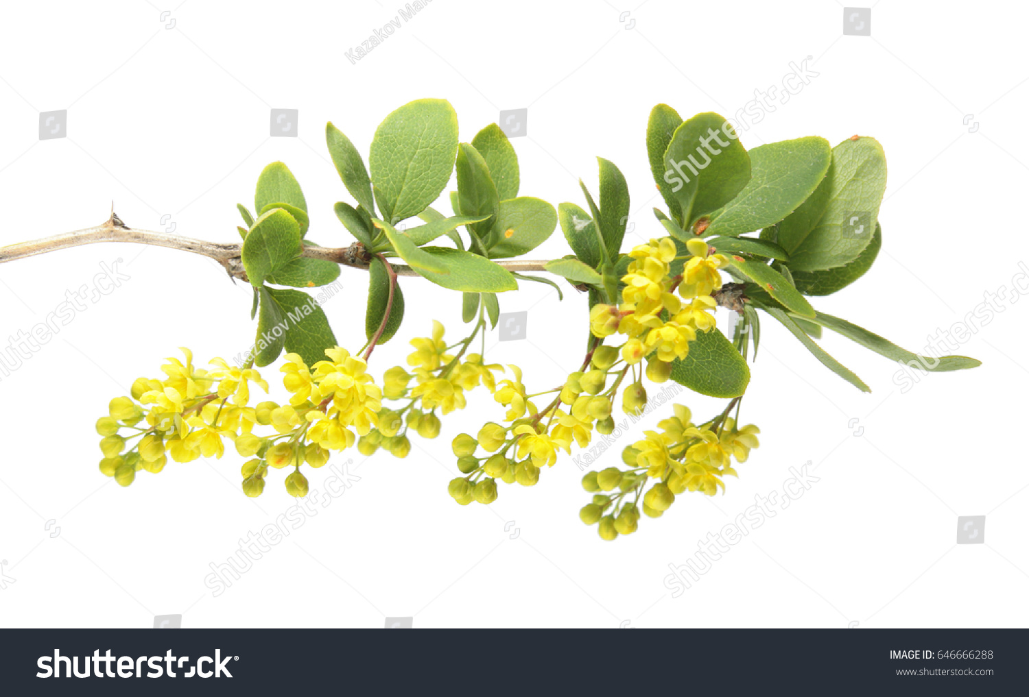 Branch Of Barberry Berberis Vulgaris With Yellow Flowers Isolated