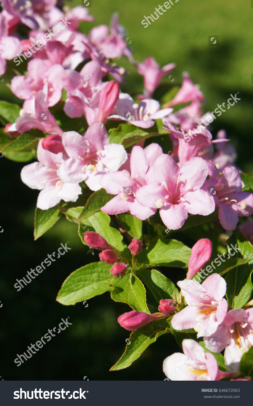 Branch Of Weigela Florida Pink Flowers With Green Background