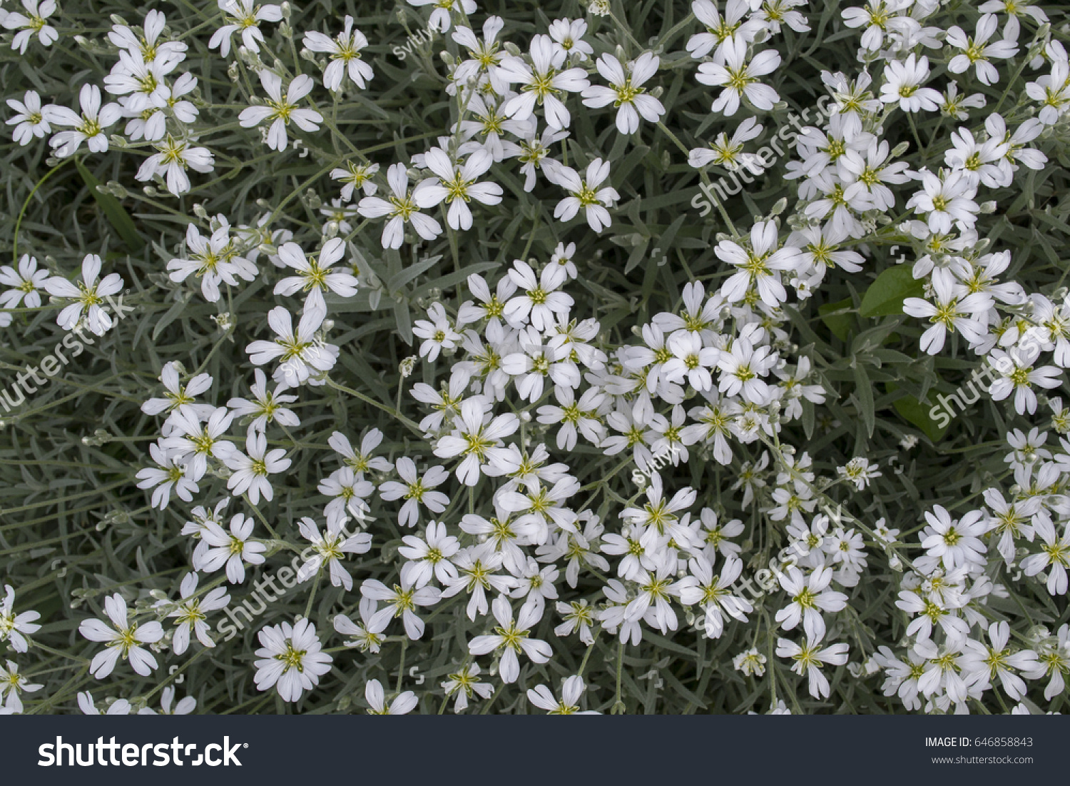 White Cerastium Flowers In The Garden Flower Bed With Tiny White